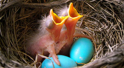 How Bird Eggs are Formed