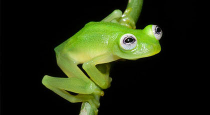 The Real Kermit the Frog