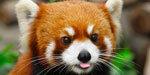 Endangered Red Pandas