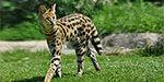 Endangered Wildcats